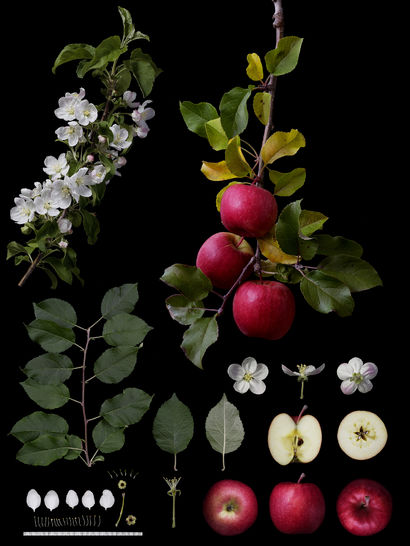 Identification of Fruits Varieties - a Photographic Art Artowrk by Masumi Shiohara